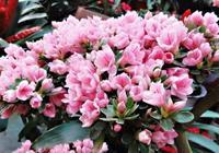 梔子花、杜鵑花買回家,3個月不開花,葉子打蔫,做錯了這幾點