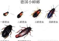 蟑螂的天敵 蟑螂怕不怕人