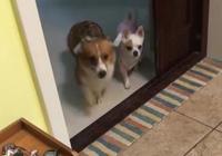 萌寵趣事:狗狗在外面惹事了,帶回來的東西讓主人哭笑不得