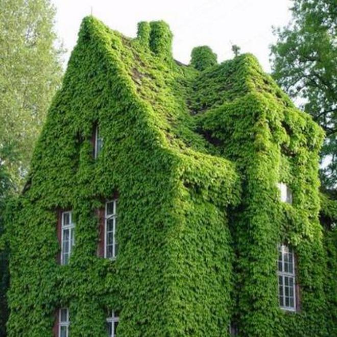 這些爬藤開花就成瀑布,輕鬆養成空中花園,還不招蟲