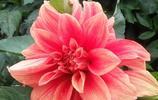 還叫地瓜花?其實是墨西哥的國花,敢與牡丹相媲美,您見過嗎?