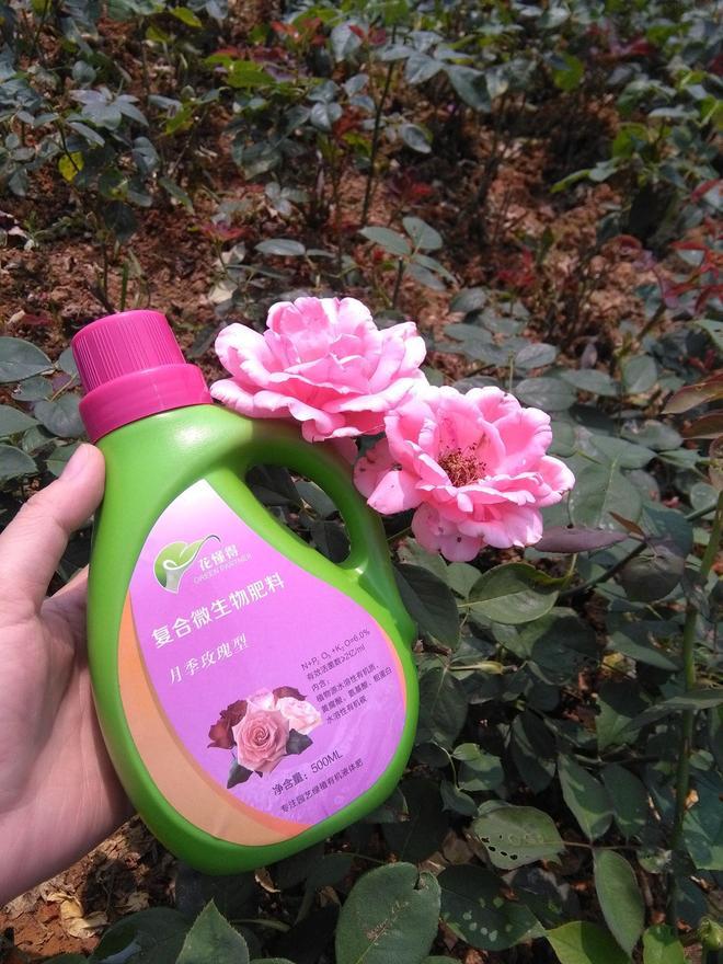 中國古老月季,工廠月季,香水繁華月季,大花香水月季