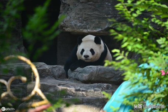 入伏伊始大熊貓嫌熱玩起躲貓貓,姿態各異萌翻眾人,開始艱難度夏