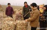 農村玉米芯現在變寶貝了,商販上門搶收,一下下來能賣不少錢