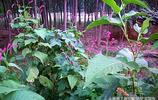 """這種長在河邊的""""游龍"""",治瘡毒腳氣效果好,更是美觀的造景植物"""