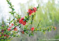 與西府海棠、垂絲海棠、木瓜海棠並列四品,嬌豔如火