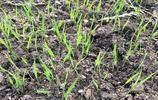 大米好吃秧難栽!你見過水稻育苗嗎?這個時候缺水,村民最為頭疼