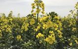 咸陽千年武功古鎮的萬畝油菜花盛開了,還在等什麼別猶豫了
