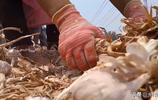 1斤2塊9,大蒜行情看漲,農民1畝大蒜賺多少?聽聽農村大哥說的啥