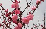 顏色靚麗的榆葉梅