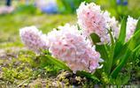 風信子,美麗水養花