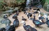 小夥白上十幾年學,回山上養800只鴨,天天泥裡洗澡,3年掙80萬