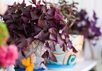 窗臺上精緻的紫葉開花盆栽,像一大群蝴蝶飛在窗邊