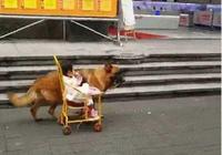男主讓德牧幫忙帶娃,自己倒是清閒的很,網友:帶娃與遛狗兼得