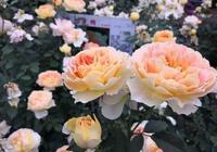 月季、玫瑰我們該如何去選擇壯苗呢?一個關於選苗的小技巧
