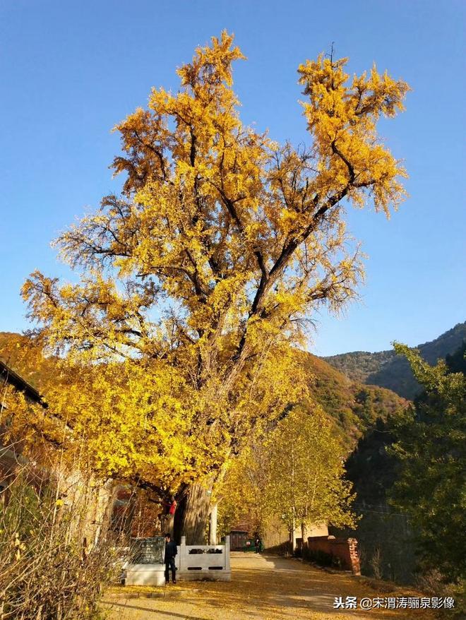 陝西西安:藍田縣的王維的手植千年銀杏樹