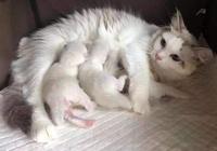 4只小白貓一滿月就被送人了,夜裡貓媽叼回家5只,你不識數嗎?