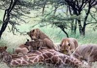 """小獅子有食物就行,哪怕被雨淋成""""落水狗"""""""