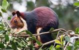 松鼠:印度巨松鼠,也叫馬拉巴爾巨松鼠,體型大,頭體長36釐米!