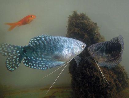 很多魚友拒絕飼養這些容易爆缸的觀賞魚,因為實在是養不起