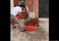 給狗子洗澡像要殺它似的,寵主夫人樂了