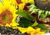 葵花籽的功效與作用