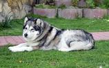 動物圖集:可愛的雪橇犬哈士奇