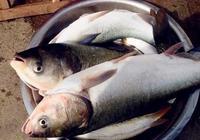 別說鰱魚不好吃,這才是鰱魚的正確做法
