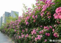 薔薇幾年開花?