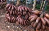你不一定吃過的香蕉,香蕉中的美人蕉——紅皮香蕉