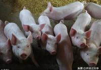 豬病越來越多,越來越難治?老豬倌教你如何豬病簡單治!