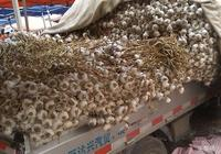 """農村大集上,四六瓣蒜漲到了4元一斤,蒜價又要""""飛""""了嗎?"""