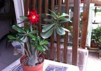 養花達人種2種盆景,變成老樁,配上澆水技巧,開花滿枝頭!