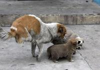這隻流浪狗遭受到殘酷的命運,但為了自己的後代,行為感動眾人!