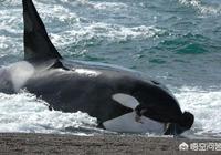 虎鯨是海洋霸主,在野外從未攻擊過人類,是因為虎鯨認知高嗎?