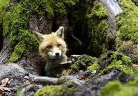 獵人追狐狸,老婦隨手一指斷送了狐狸的性命,卻讓自己無臉見人