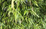 我家門前的竹子