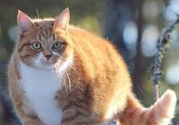 """20斤的流浪橘貓出來""""騙人"""",橘貓:吃完趕緊去找下一家接著吃!"""