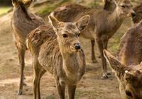 萌且猛!近一年奈良鹿攻擊遊客事件破紀錄 千萬不要這樣對它……