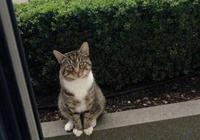 萌寵萌圖第1604:貓每天都會堅持在門口等待另一隻貓出去玩