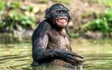 黑猩猩:黑猩猩笑起來不是表達快樂,知道真相你還愛看猩猩笑嗎?