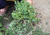"""趁著春天,地裡採這6種""""蔬菜"""",無農藥高營養,晒乾能吃一年"""