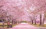 最美的正在盛開的櫻花