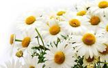 意大利的國花,永遠的快樂,雛菊