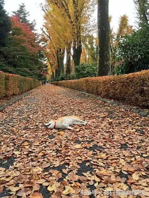 柴犬……你還真是廢柴!