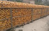 玉米市場迎來轉機?這個政策將大大增加農民收入