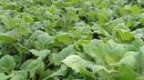 農村有種水果在地下種植,每斤2元錢,城裡人都不知道名字!