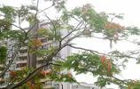 永春兒童公園,鳳凰木漸漸地開了