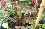 月季只長花苞不打開,氣得我把它們都剪了,二叔抱回去半年就開花
