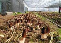 羊肚菌栽培模式